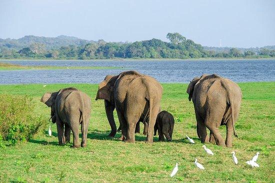 Minneriya National Park Safari from Sigiriya