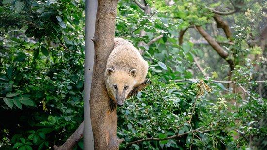 South-American Coati
