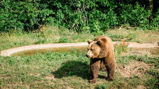 The swizz bear - Berna.