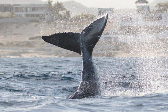 Humpback calf playing