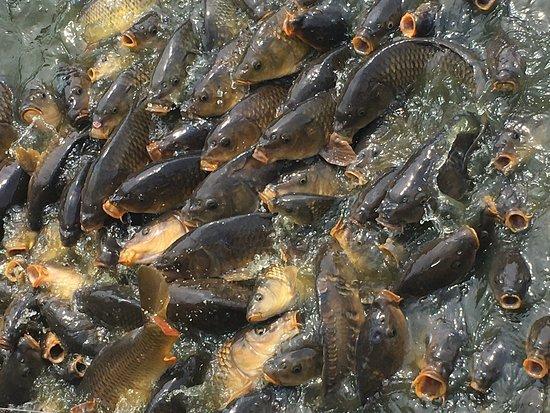Nuenen, Holandsko: De vissen bij het apenverblijf.