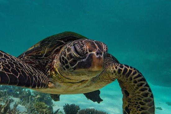 Tours de tortues sur le récif de...