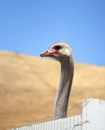 One of our majestic ostriches!