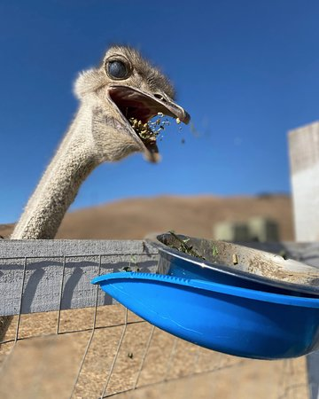 Come feed an ostrich!