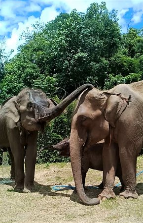 Happy to see our herd hangout and talk to each other. Have you ever hear the elephants talk to each other before?  If you are in Chiang Mai, Thailand don't miss out our Free entry from 29 Jun - 29 Jul 2020, from 9.00 am - 3.00 pm. *- Limited visitors per day, inbox us to book in advance please - Arrange your own Transportation - Please wear mask and keep distance from others - Activities are Only feeding and observing the elephants For donation: https://www.paypal.me/cmelephanthome
