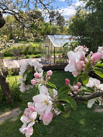 Gårdens äppelträd i full blom