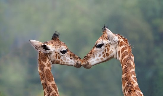 Giraffen | Safaripark Beekse Bergen