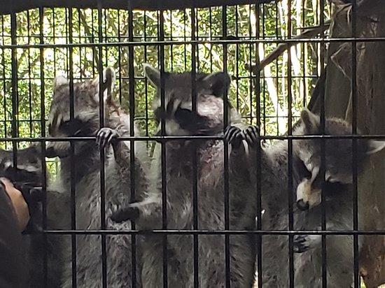 Raccoons at Yellow River Wildlife Sanctuary.
