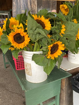 Linvilla Orchards sunflowers