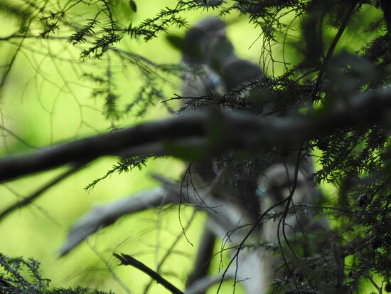 Peregrine Falcons hiding in the forest