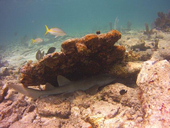 Nurse Shark Alligator Reef