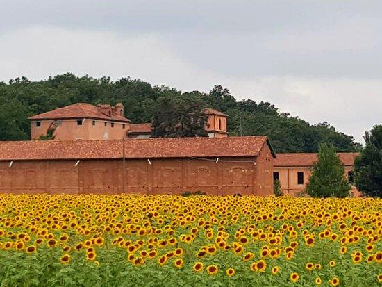 Province of Alessandria, Ιταλία: #Predosa la fioritura dei #girasoli meraviglioso #amazing oggi!