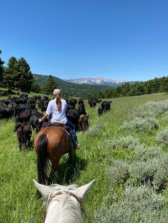 Clyde Park, MT: Cattle drive