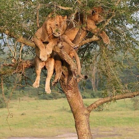 """The lions in the Lake Manyara National Park, in Tanzania, are known as """"tree-climbing lions""""; they usually spend the days on the branches of the trees, while they descend on the ground at sunset. This particular habit has been well documented in this park, but the motivation that leads them to behave in this particular way has not been defined with certainty; conjectures have been formulated over the years."""