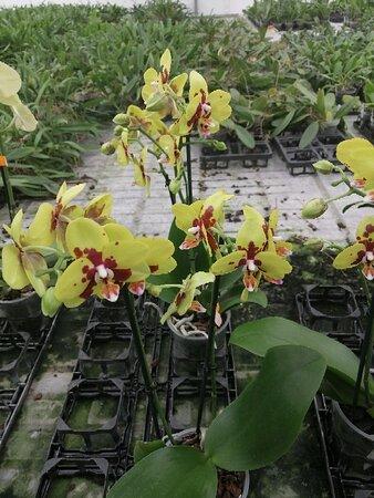 Currlin Orchideen, die Erlebnisgärtnerei