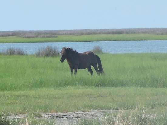 """Cedar Island, NC: This is a photo of one of the wild horses.  If you use a high resolution setting, you can get nice """"cropped in"""" close-ups.  He was quite a distance from us.  Zoom lens are a must!"""