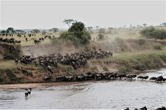 In the Months of July to November, Mara river experiences back and forth crossing of the wildebeest migration while crocodiles feast on them.