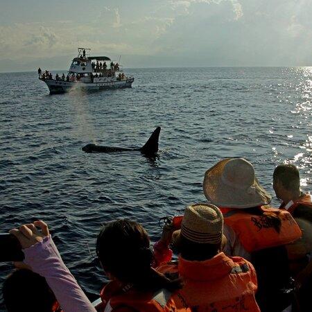 『多羅滿賞鯨公司』是由一群生長於花蓮,並深深熱愛這片土地的海洋伙伴所組成。 對多羅滿而言,賞鯨之旅並非只是與鯨豚打照面,而是希望藉由黑潮海洋文教基金會解說員專業解說,讓您了解鯨豚及花蓮特殊的海洋生態,深刻體驗人與海洋生物之間的良性互動、翩若驚鴻的鯨豚身影、太魯閣峽谷與清水斷崖的山水景觀,立霧、三棧溪與黑潮交織而成的河海生態。 多羅滿提供給您的賞鯨行程不只是賞鯨,而是一場歡樂、精緻、知性的海洋旅程,帶給您的是一種從海上感受台灣之美的感動體驗。