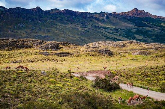 guanacos na estrada