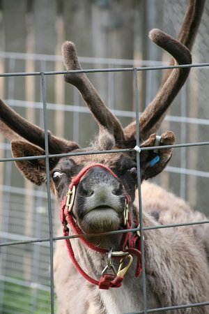 Reindeer at front of farm