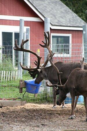 Huge Reindeer you get to feed