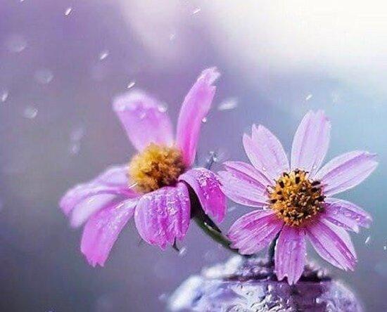 Province of Sondrio, إيطاليا: Gocce di pioggia sui petali ....  💦💦💦