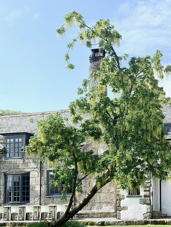The lovely Labernum tree at the front of the hotel