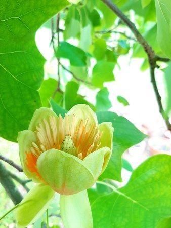 Une fleur de Tulipier de Virginie, l'un des nombreux arbres du Parc du Château de Monthoiron...
