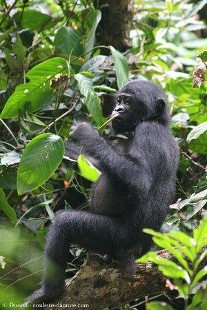 Demokratyczna Republika Konga: Bonobo you only found this chimpanzee in the DR Congo