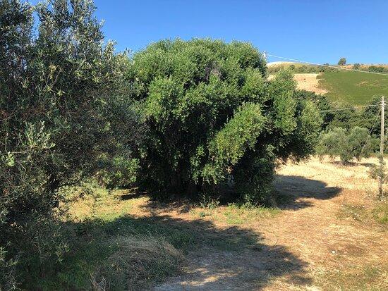 L'olivo Di Cinque Secoli