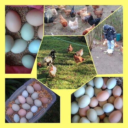 ProvinzArauco, Chile: Tenemos gallinas mapuche de huevos azules y de colores criadas en libre pastoreo