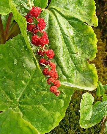 Kordestan Province, Iran: Wild Berries توت وحشی 🍓🌿🌿