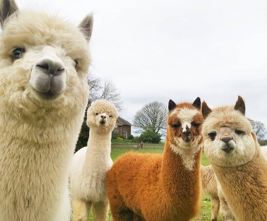 ‪Alpacaly Ever After‬