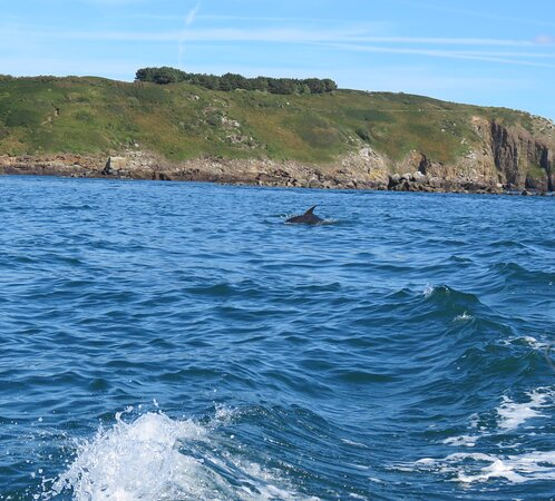 Dolphin approaching our Rib off the coast of Herm