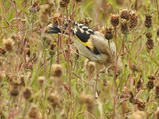 Juvenile goldfinch feeding on seeds
