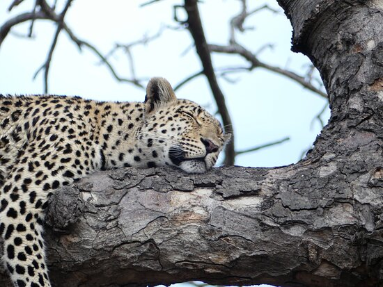Cape Town, Afrique du Sud : A leopard resting in a tree in the Sabi Sands Private Game Reserve