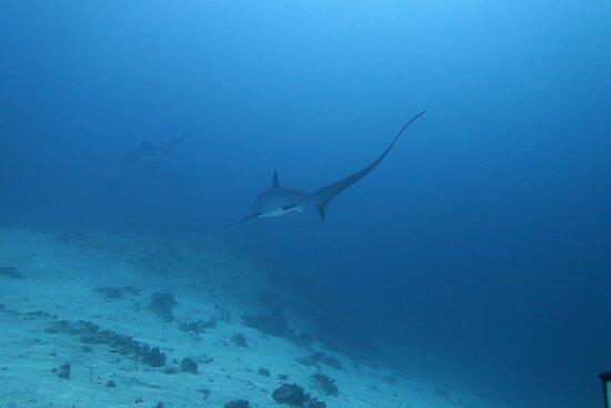 Thresher Shark Dive from Malapascua Island: Tresor shark