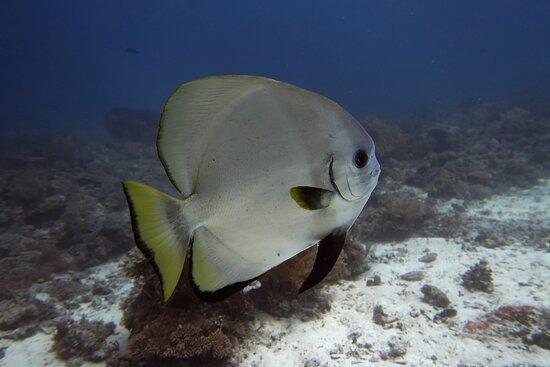 Thresher Shark Dive from Malapascua Island: Batfish