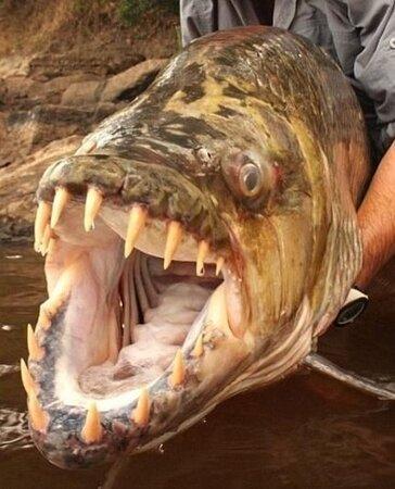 Republikken Kongo: Tiger Fish 5