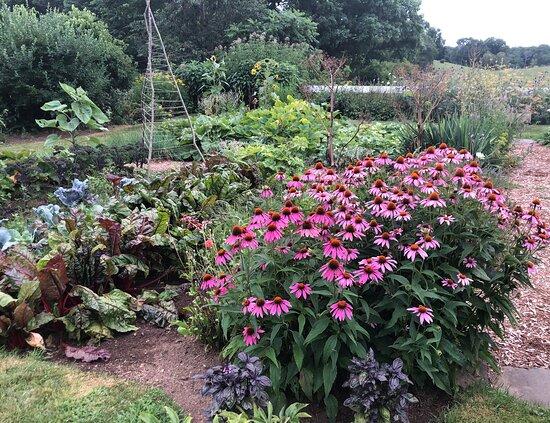 West Brookfield, MA: Echinacea is a beautiful herb.