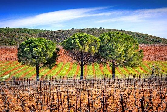 Montseret, Frankrijk: Les pins font partie du patrimoine du Languedoc, ils sont très présents au sein du Domaine.