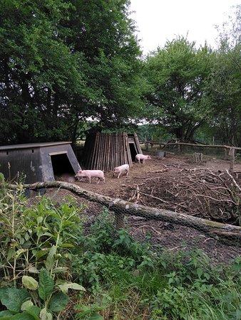 Espergaerde, Danmark: Tre små grise ca 8 uger gamle