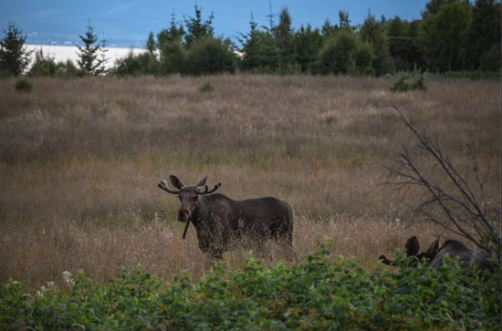 Moose picture taken by Jens during our tour