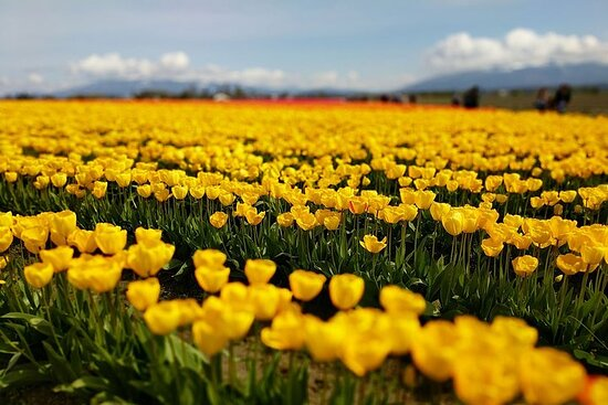 Skagit Valley Tulip Festival and...