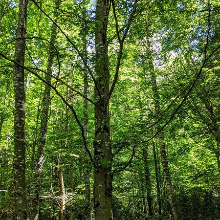 Bielsa, Španělsko: CRÓNICAS VIAJERAS. HAYEDO DE PINETA. Hay una luz, colorido y mansedumbre en los hayedos que tienen la cualidad del refugio y el aura de místico silencio. Todas las cuitas quedan lavadas y recicladas en el verde espesor del Hayedo de Pineta