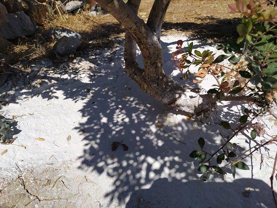 Image result for μαστιχόδεντρο