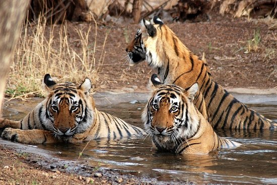 India Wildlife Safaris
