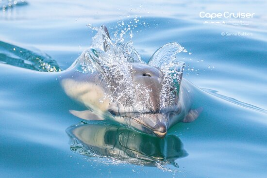 Cape Saint Vincent, Portugal: We are ready for the new week! Are you? Come and join us on our dolphin watching tours ❤️ Visit our office in Sagres (Porto da Baleeira) or give us a call (+351 932 079 414). Photo: common dolphin with a mouth full of water! 😍