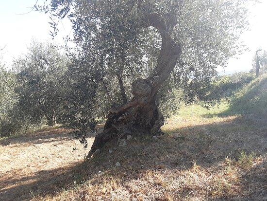 Santa Luce, Italija: Tutte le foto le ho fatte nel campo di ulivi.