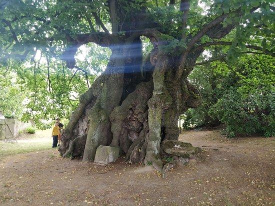 1000-jahrige Linde